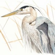 Hiroko Cannon drawing of Great Blue Heron in Brown Grass at Wenaha Gallery
