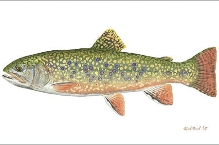Pennsylvania Brook Trout