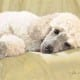 Best Loved Breeds - White Standard Poodle
