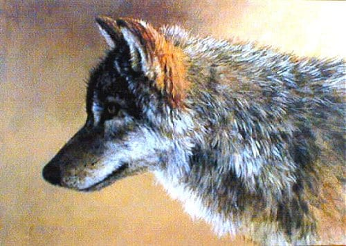 Timber Wolf Study - Mort Solberg
