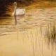 Evening idyll - mute swans
