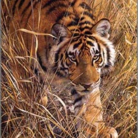 Tall Grass Tiger