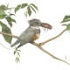 Belted Kingfisher with a Crawfish