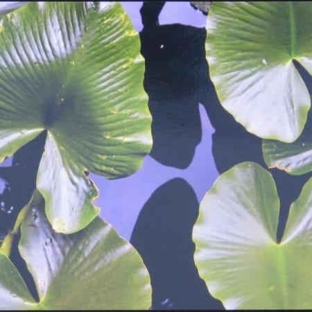 Lily Pads - Gary Wessels-Galbreath