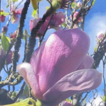 Pink Magnolia Bloom - Gary Wessels-Galbreath