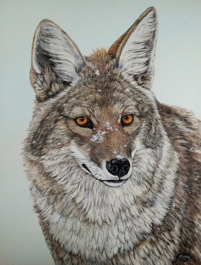 Coyote Winters, scratchboard art by Judy Fairley