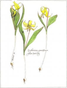Yellow Fawn Lily, wildflower watercolor painting by Jean Ann Mitchell