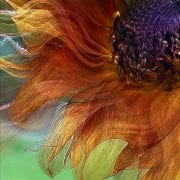 autumn sunflower floral mixed media photographic art gay waldman
