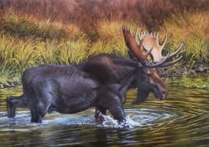 moose crossing water magical landscape western country adaszynska