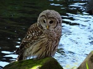 owl bird wildlife river thoughtful plumage doug paulson photograph