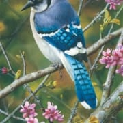 blue jay bird contemplative animal carl brenders