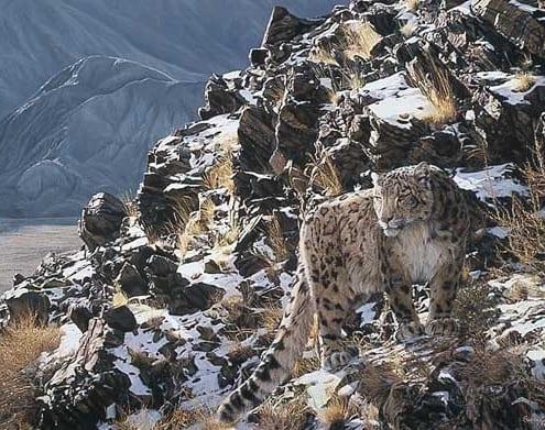 mountain myth snow leaopard circumspect simon combes