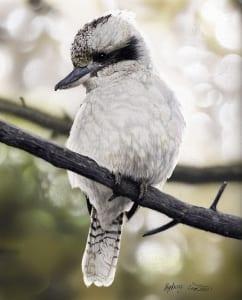 bird plumage feathers wildlife drawing aimee croteau