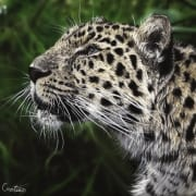 cat leopart spotted wildlife drawing photorealistic aimee croteau