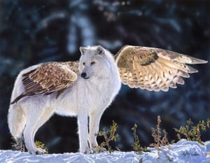 wolf wings fantasy wildlife colored pencil photorealism aimee croteau